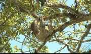 Preguiças estão morrendo em Praça de Rio Tinto