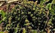 Técnica de manejo do café conilon evita queda de produção durante a poda, no ES