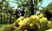 Qualidade da safra da uva no RS foi acima da média, com açúcar e acidez bem equilibradas
