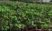 Variação do tempo interfere na produção de hortaliças em Araxá