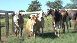 Segunda etapa de vacinação contra aftosa atinge mais de 95% do rebanho bovino e bubalino
