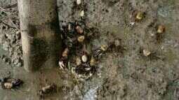 Cerca de mil carangueijos são apreendidos em Anchieta, no Sul do Espírito Santo