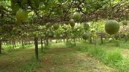Mercado do maracujá atrai produtores de uva