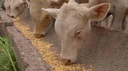 Criadores de aves e suínos de MS não estão otimistas com incentivo na importação do milho