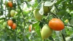 Produtores aproveitam mercado atraente e investem na valorização do tomate