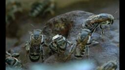 Pesquisa aponta que mudança climática interfere no processo de extinção das abelhas