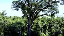 Jequitibás do Parque Vassununga