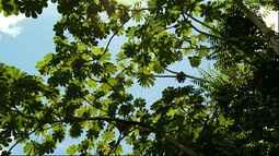 Embaúba regenera florestas desmatadas