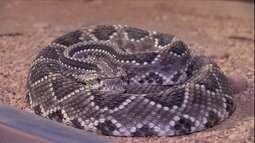 Biólogo explica como evitar acidentes com cobras nos canaviais
