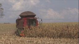 Como ter algum lucro com uma pequena lavoura de milho?