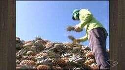 Colheita do abacaxi tem baixa expectativa em Marataízes, Sul do ES
