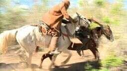 Tradicional prova pega do boi é mantida por vaqueiros de Ouro Branco, em Alagoas