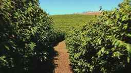 Com ano de safra baixa, cafeicultores devem contar com reservas no Sul de Minas