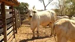 Jequitaí vai sediar uma feira de touros de alto padrão genético