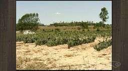 Planta do sertão que armazena água renova esperança de pecuaristas no ES