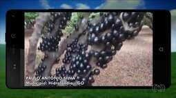 Internauta envia imagens de árvore carregada de jabuticabas