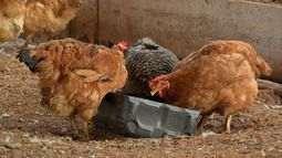 Escassez e alto custo do milho geram insegurança nas granjas de aves