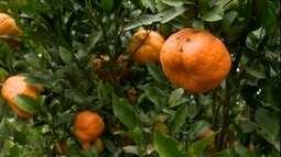 Saiba evitar a mancha-de-alternária em pomares de tangerina ponkan