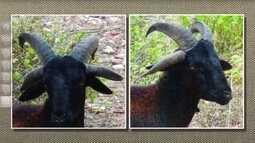 Ovelha tem quatro chifres em propriedade na Bahia