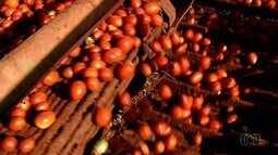 Mesmo com irregularidade da chuva, mercado do tomate está em alta em Goiás