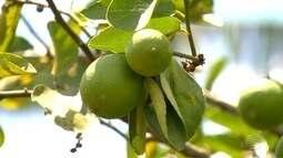 Estamos na safra do limão e os produtores estão satisfeitos com o cultivo da fruta.