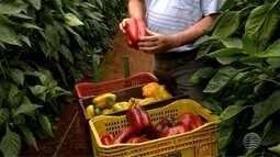 Cultura do pimentão na nova alta paulista está em plena produção