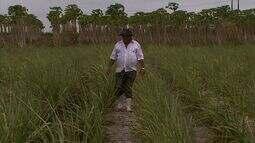 Usina em Coruripe aposta na adubação líquida para minimizar efeitos da seca