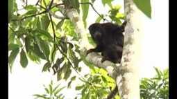 Instituto Evandro Chagas confirma morte de macaco por febre amarela no oeste do Pará