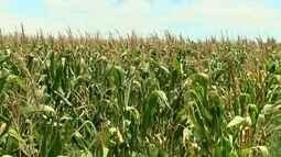 Produtores estão otimistas com safra do milho no Noroeste Paulista