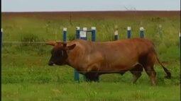 Parceria pretende incentivar comercialização de material genético de gado curraleiro
