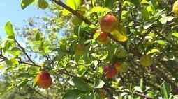 Em Belo Horizonte, árvores frutíferas adoçam a vida de muita gente