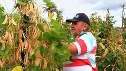 Produtores têm farta colheita de fava no interior do Ceará