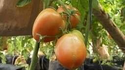 Produtores apostam no cultivo de tomates sem agrotóxicos em Araçoiaba da Serra
