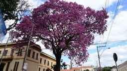 Florada de ipês embelezam as cidades