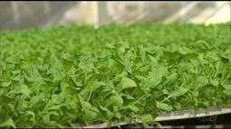 Produtor cultiva hortaliças no sistema de hidroponia; veja os benefícios