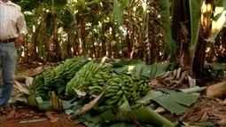 Produção de banana movimenta economia do Leste de MG