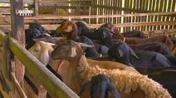 Parte 3: Ovinocultor inova com sistema de produção de carneiros