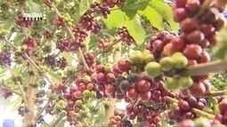 Parte 2: Estado de Rondônia se destaca com a produção de café