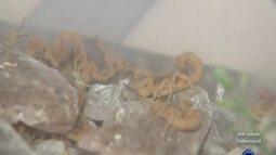 Moradores de Araçatuba se preocupam com casos de escorpiões na cidade