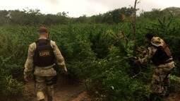 Polícia apreende mais de 30 mil pés de maconha na zona rural de Mata Grande