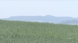 Estiagem afeta em até 30% produção nas lavouras de trigo no Meio-Oeste