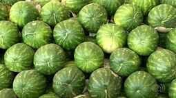 Produtores de melancia utilizam sistema de irrigação por gotejamento na produção