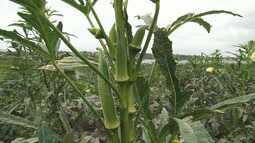 Cosme e Damião: conheça o processo de plantio do quiabo na região de Feira