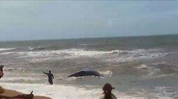 Baleia é desencalhada em praia de Barra Velha