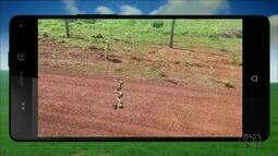 Telespectador filma cobra imóvel em fazenda no Tocantins