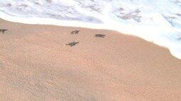 Projeto em São João da Barra ajuda a preservar as tartarugas marinhas