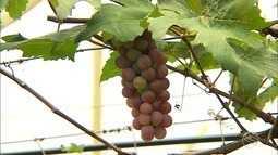 Produtor rural enfrenta adversidades para cultivar uva e maçã