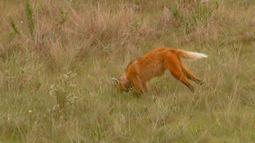 Lobo-guará convive com gado. Diário de Campo traz o bigodinho (Bloco 02)