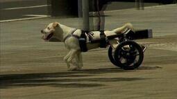 Grupo desenvolve 'cadeira' de roda para animais com deficiência