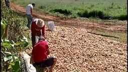 Produtores rurais da região de São Gotardo descartam batatas após queda dos preços